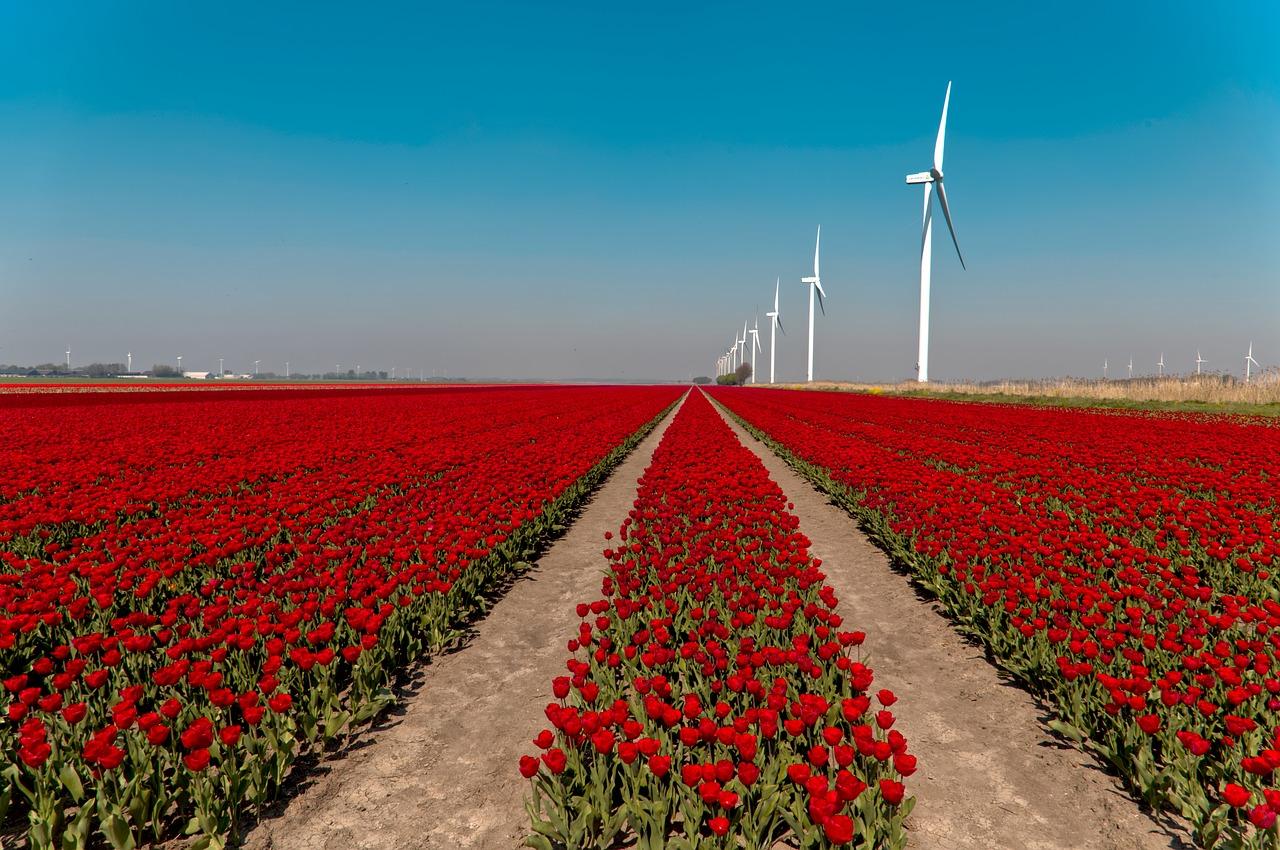 Nīderlandes tulpju dārzi, sarkans tulpju lauks